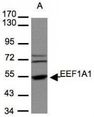 NBP1-32122 - EEF1A1 / LENG7