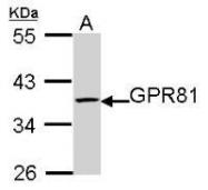 NBP1-32128 - GPR81