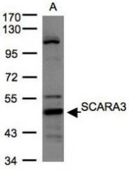 NBP1-32130 - SCARA3