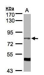 NBP1-32138 - SFRS17A