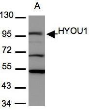 NBP1-32140 - HYOU1