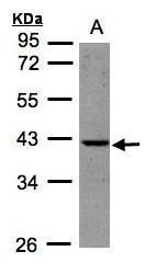 NBP1-32152 - BPNT1