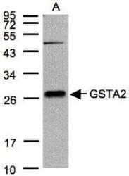 NBP1-32157 - GSTA2 / GST2