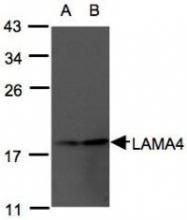 NBP1-32159 - Laminin alpha 4