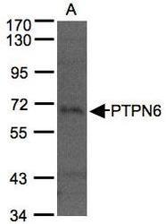NBP1-32179 - PTPN6