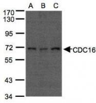 NBP1-32182 - CDC16 / APC6