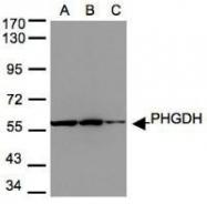 NBP1-32201 - PHGDH