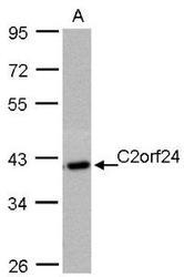 NBP1-32202 - C2orf24