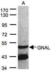 NBP1-32225 - G alpha protein olf