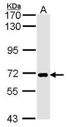 NBP1-32252 - SLC20A1 / PIT1
