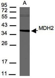 NBP1-32259 - MDH2