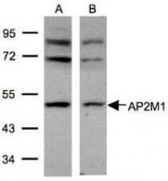 NBP1-32272 - AP2 complex subunit mu-1 / AP2M1