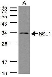 NBP1-32281 - NSL1