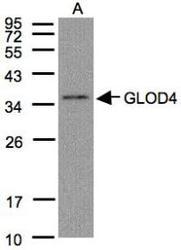 NBP1-32282 - GLOD4