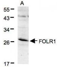 NBP1-32293 - Folate receptor alpha