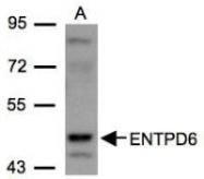 NBP1-32294 - CD39L2 / ENTPD6