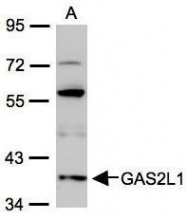 NBP1-32310 - GAS2-like protein 1
