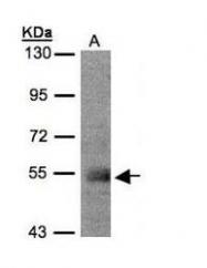 NBP1-32324 - PACSIN1