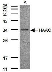 NBP1-32330 - HAAO