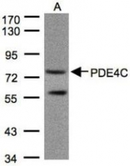 NBP1-32341 - PDE4C