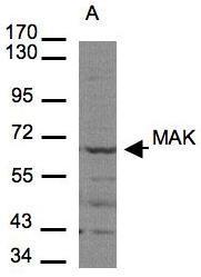 NBP1-32344 - MAK