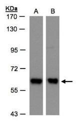 NBP1-32377 - Coatomer subunit delta (COPD)