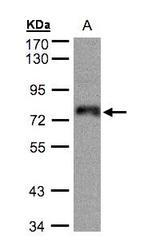 NBP1-32386 - ZNF7