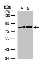NBP1-32388 - Dishevelled-2 / DVL2