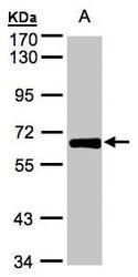NBP1-32395 - ZNF169