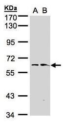 NBP1-32469 - FMO1