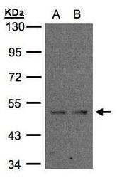 NBP1-32473 - IFRD1