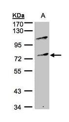 NBP1-32484 - MZF1