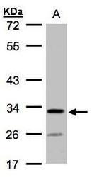 NBP1-32492 - C4orf19