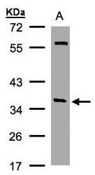 NBP1-32493 - SNAP alpha