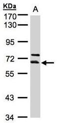 NBP1-32500 - THUMPD3