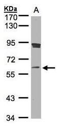 NBP1-32517 - SCMH1
