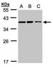 NBP1-32518 - C9orf78