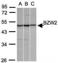 NBP1-32519 - BZW2