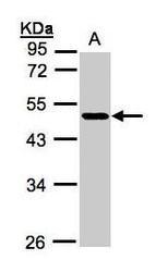 NBP1-32529 - NEGR1