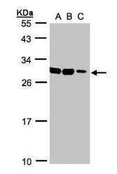 NBP1-32541 - ASB9