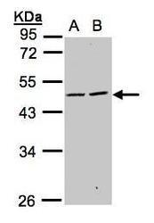 NBP1-32542 - CD329 / SIGLEC9