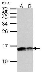 NBP1-32550 - Complex IV subunit Va