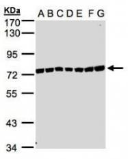NBP1-32598 - KIAA1530