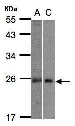 NBP1-32599 - Mid1-interacting protein 1