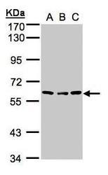 NBP1-32607 - Angiopoietin-4