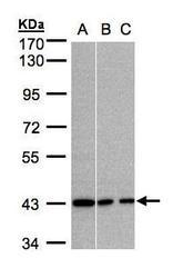 NBP1-32617 - G Protein alpha Inhibitor 3