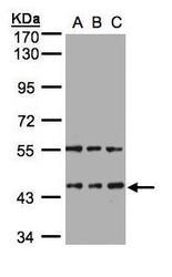 NBP1-32620 - HENMT1 / C1orf59