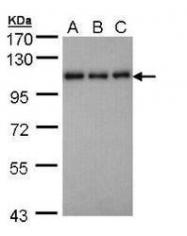 NBP1-32699 - CD108 / SEMA7A