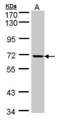 NBP1-32714 - GLE1 / GLE1L