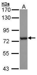 NBP1-32761 - HSPA6